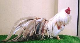 Đi tìm nguồn gốc gà tre Tân Châu