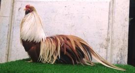 Tiêu chí theo dõi sức khoẻ đàn gà tre tân châu